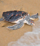 Turtle Conservation on Phuket